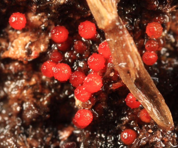 Nectria sp.