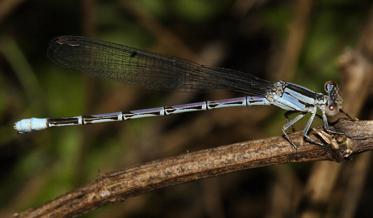Springwater Dancer - Argia plana