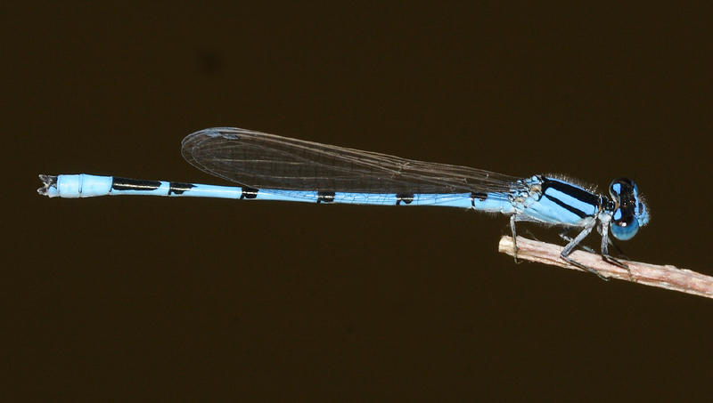 Familiar Bluet - Enallagma civile