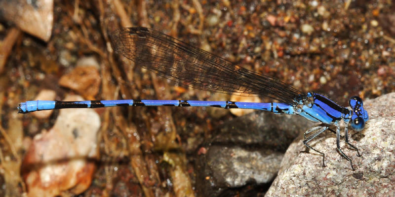 Spine-tipped Dancer - Argia extranea