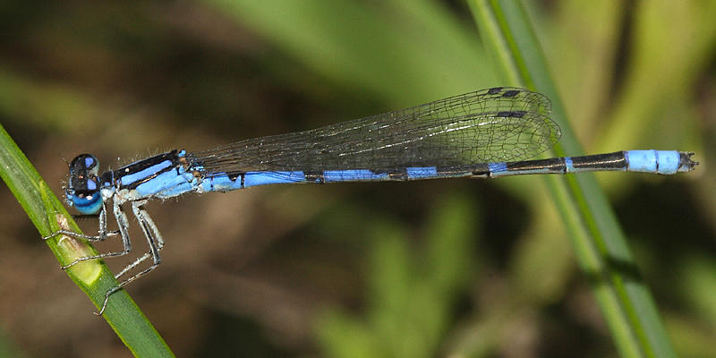 Arroyo Bluet - Enallagma praevarum