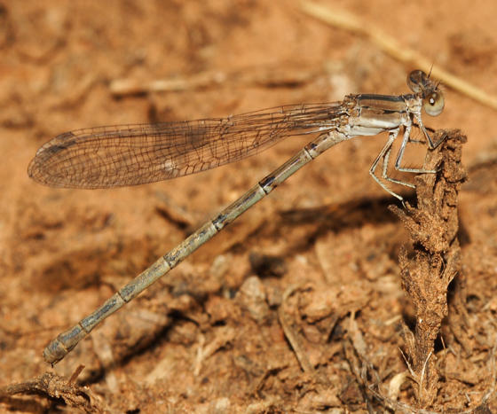 California Dancer - Argia agrioides (female)