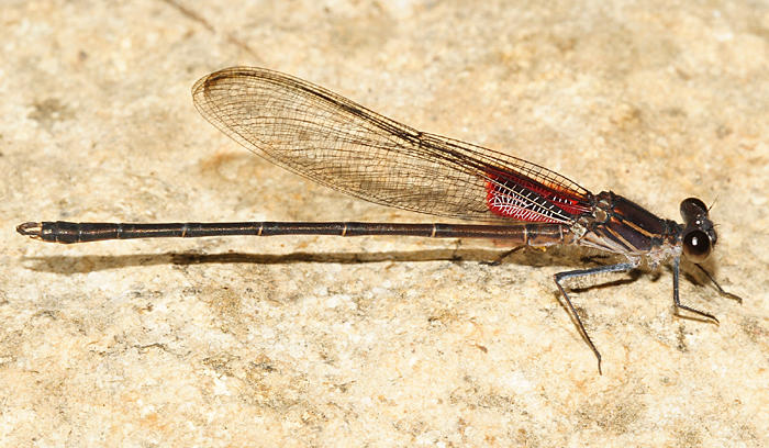 Canyon Rubyspot - Hetaerina vulnerata (male)