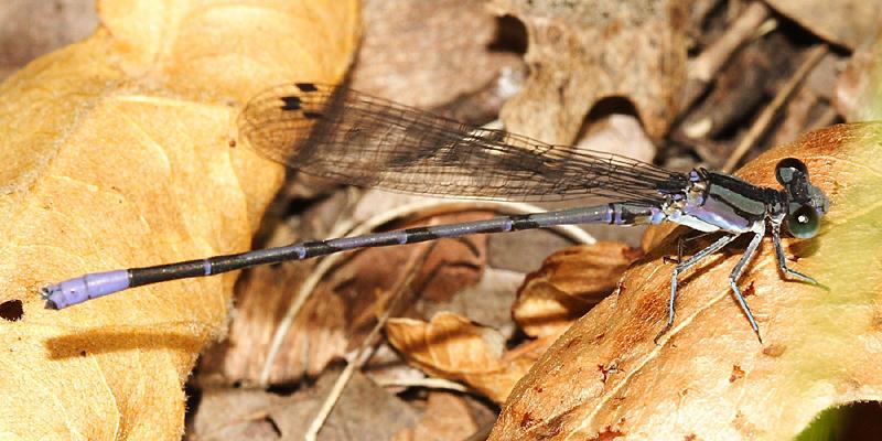Springwater Dancer - Argia plana (male)