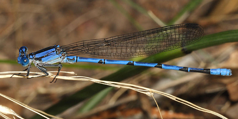 Sierra Madre Dancer - Argia lacrimans (male with forked humeral stripe)