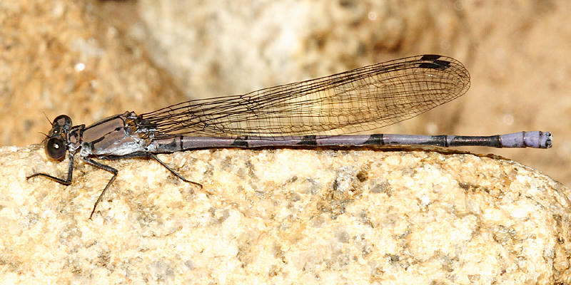 Tonto Dancer - Argia tonto (male)