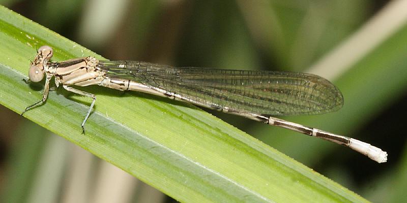 Springwater Dancer - Argia plana (teneral male)