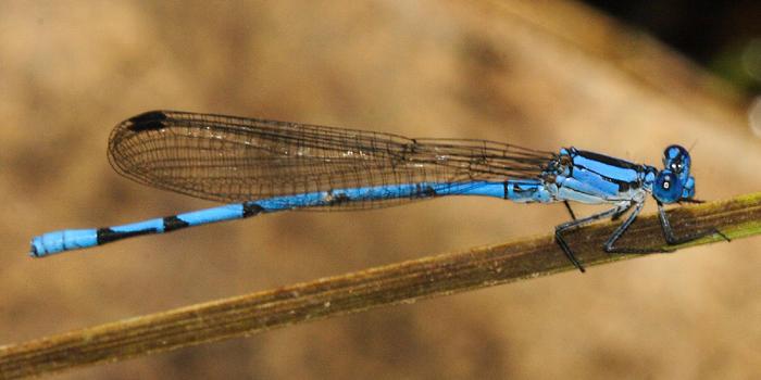 Sierra Madre Dancer - Argia lacrimans (male with unforked humeral stripe)