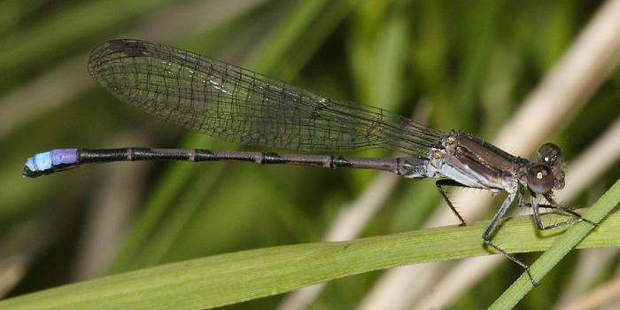 Violet Dancer - Argia fumipennis (male)