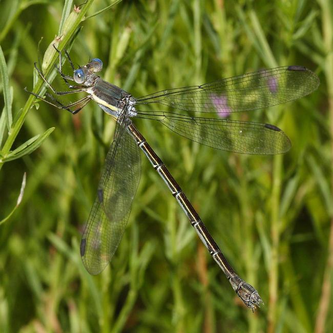 Great Spreadwing - Archilestes grandis (female)