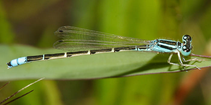 Desert Forktail - Ischnura barberi (male)