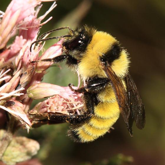 Golden Northern Bumble Bee - Bombus fervidus