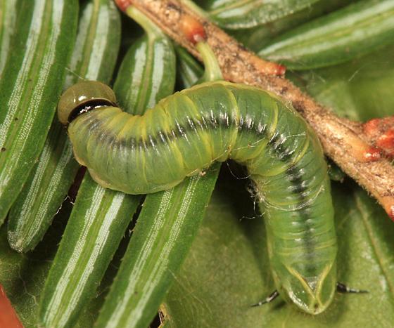 Pamphiliidae - Acantholyda sp.