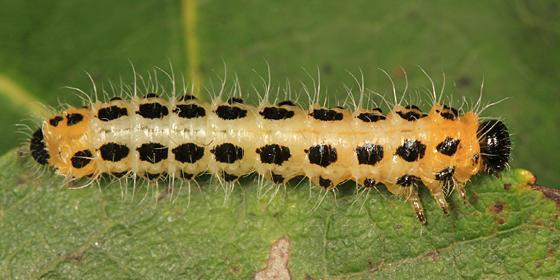 Nematinae - Trichiocampus viminalis