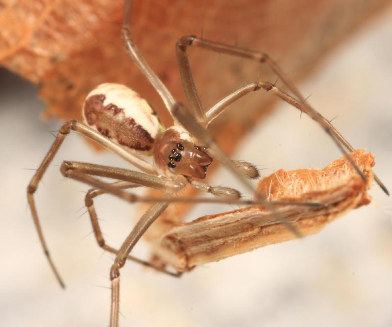 Filmy Dome Spider - Neriene radiata