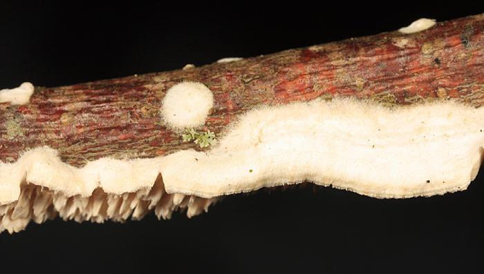 Spongipellis pachydon
