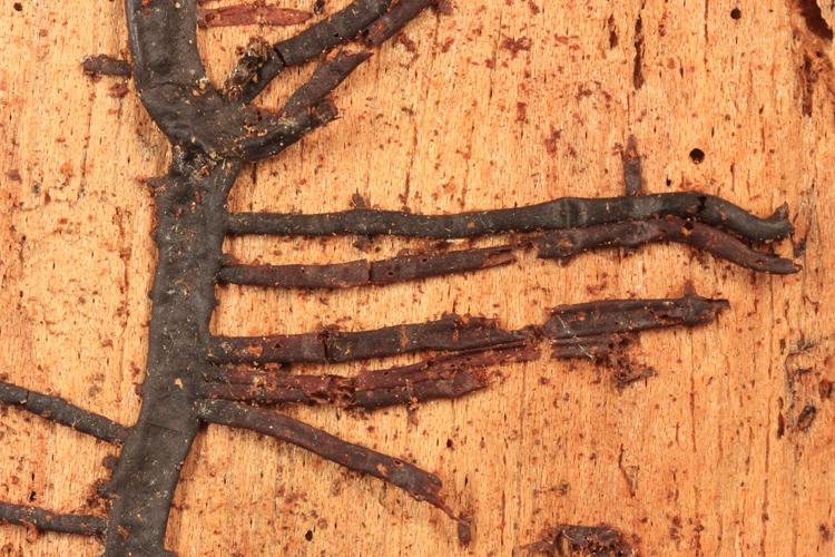 Armillaria (rhizomorphs)