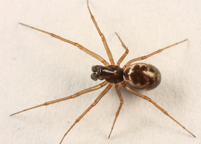 Microlinyphia mandibulata mandibulata