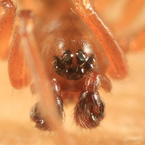 Mermessus maculatus