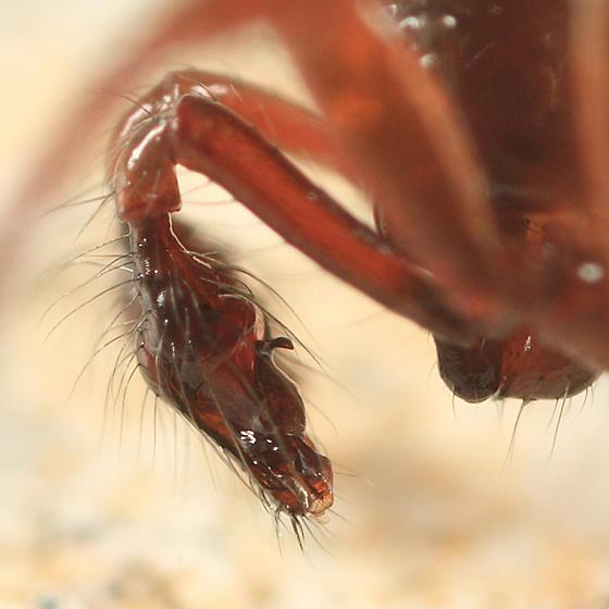 Robertus riparius (male)