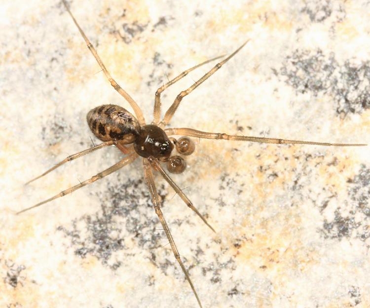 Lepthyphantes turbatrix
