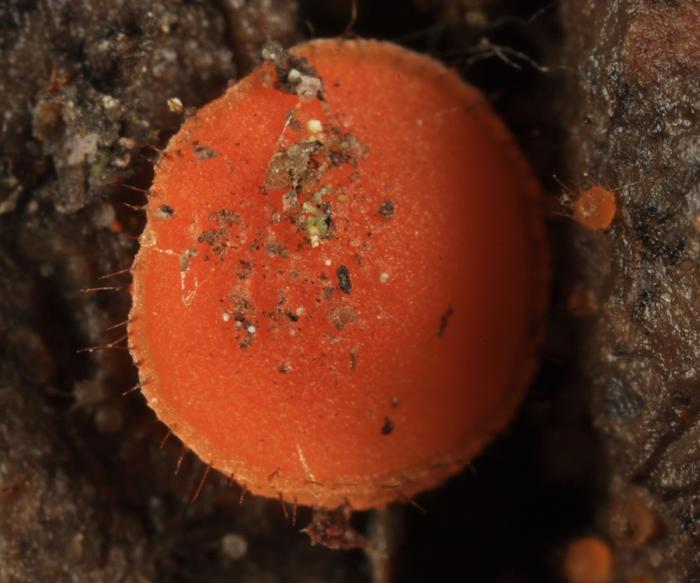Lasiobolus ciliatus