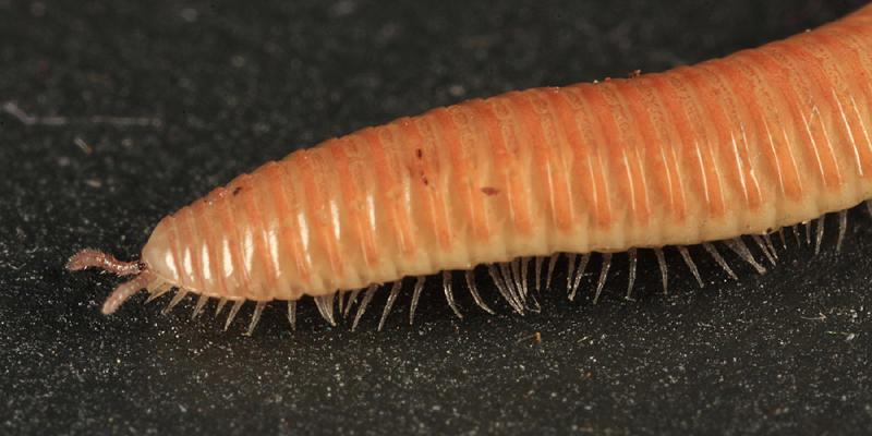 Polyzoniida - Polyzoniidae - Petaserpes cryptocephalus