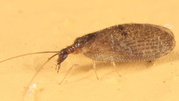 Sympherobius amiculus