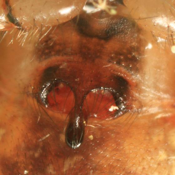 Hammock Spider - Pityohyphantes costatus (female epigyne)
