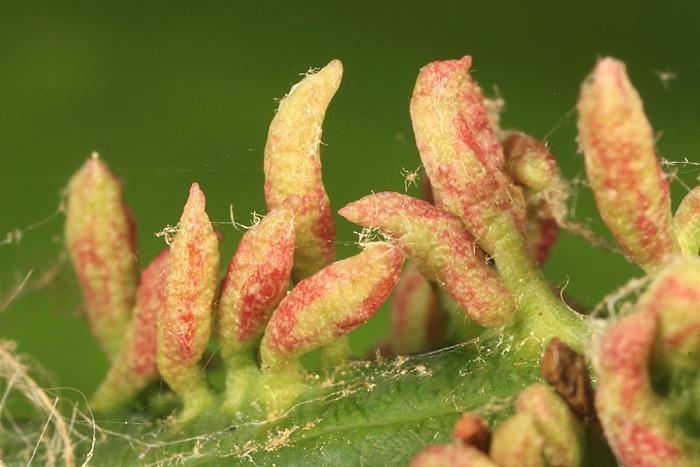 Eriophyes cerasicrumena (galls)