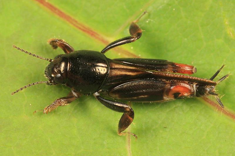 Larger Pygmy Mole Grasshopper (Tridactylidae) - Neotridactylus apicialis
