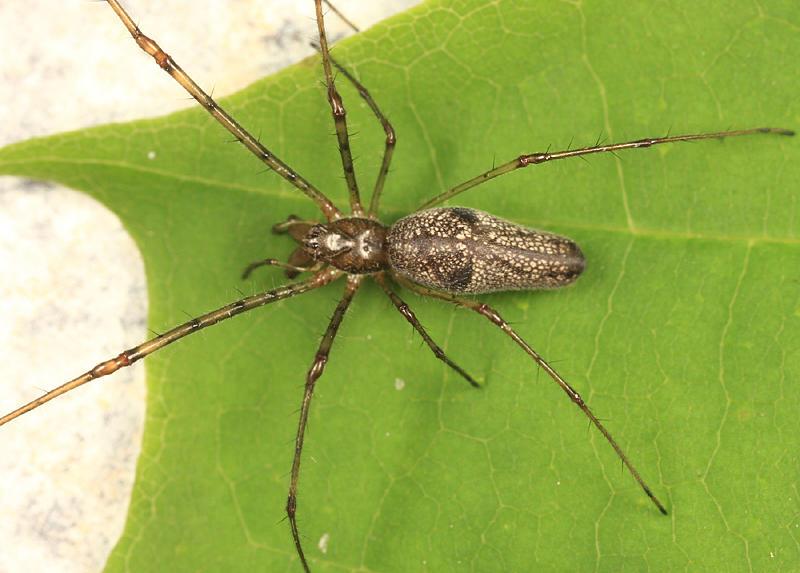 Tetragnatha versicolor (female)