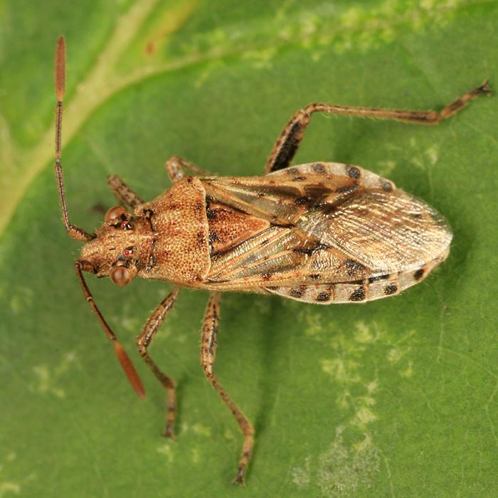 Stictopleurus punctiventris