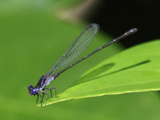 Dusky Dancer - Argia translata