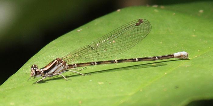 Argia gaumeri (female)