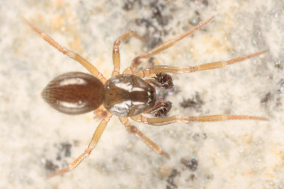 Halorates oxypaederotipus