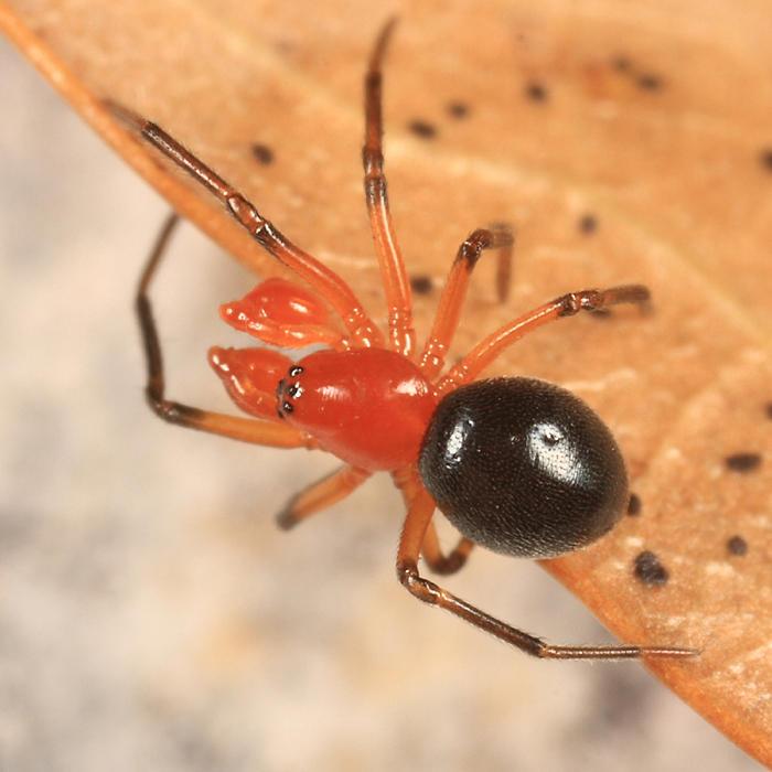 Hypselistes florens (subadult male)