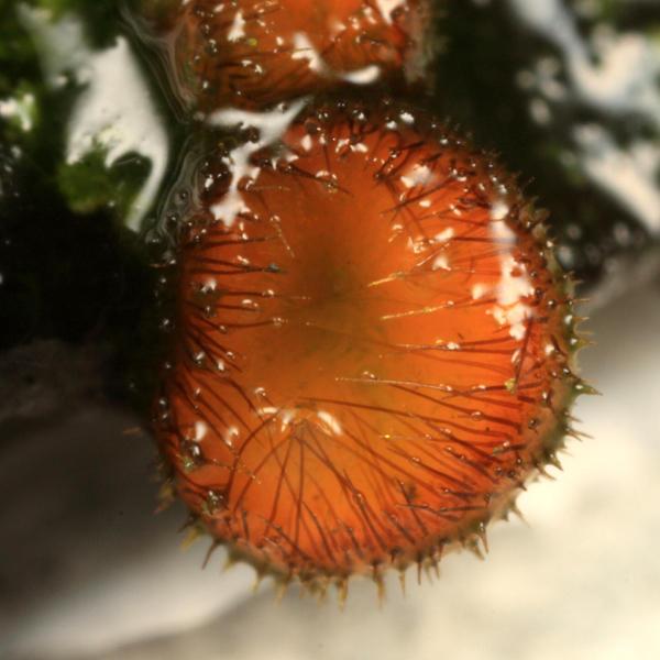 Scutellinia scutellata - (Eyelash cup)