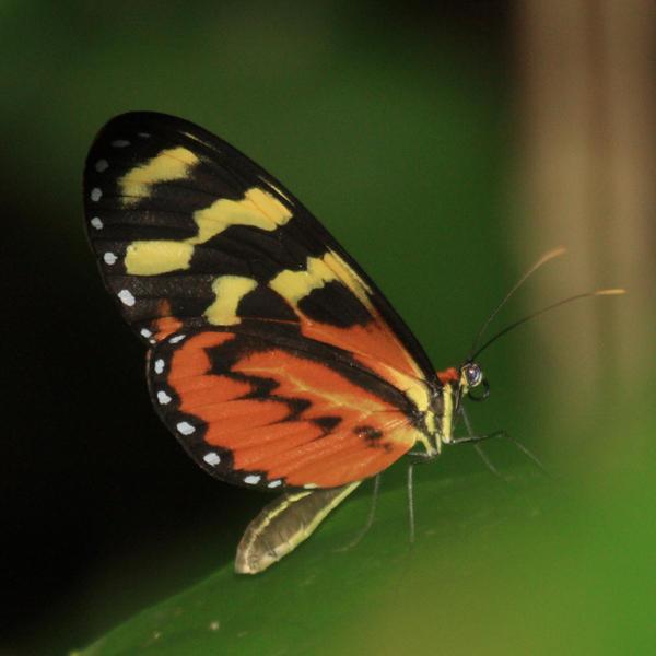 Disturbed Tigerwing - Mechanitis polymnia