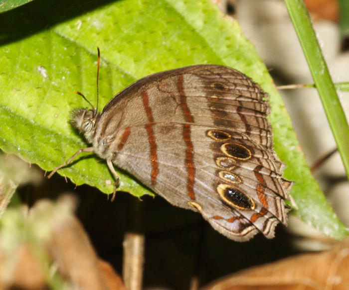 Blue-gray Satyr - Magneuptychia libye