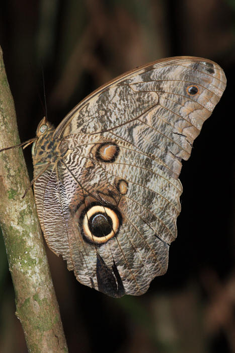 Almond-eyed Owl-Butterfly - Caligo brasiliensis