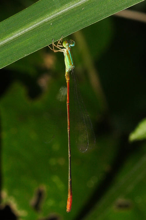 Leptobasis vacillans (male)