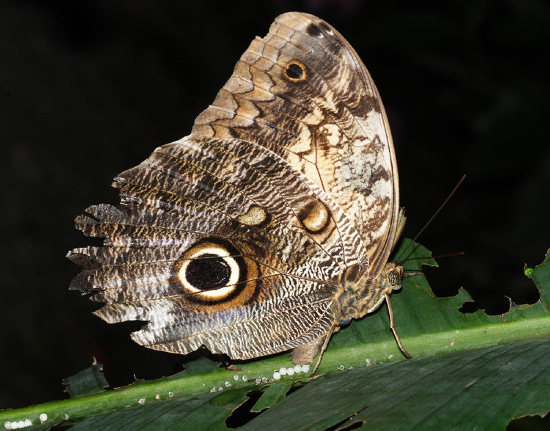Yellow-fronted Owl Butterfly - Caligo telamonius (laying eggs)