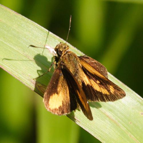 Trailside Underskipper - Anthoptus epictetus