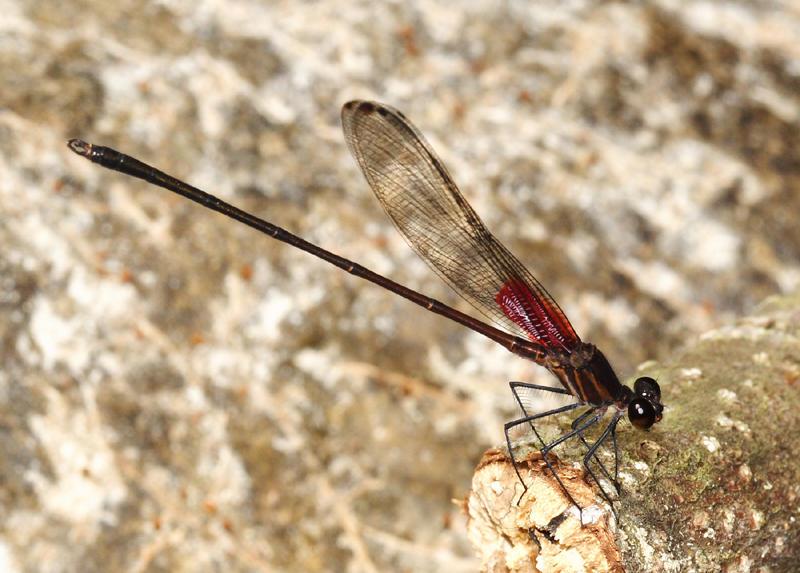 Hetaerina occisa (male)