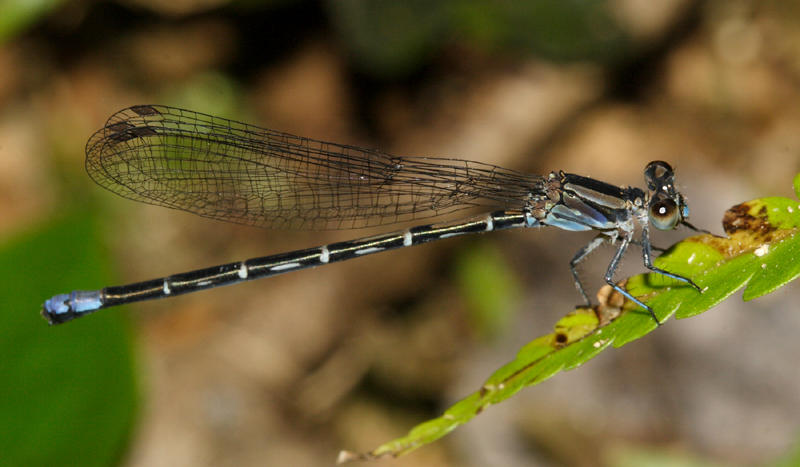 Argia sp. (female)