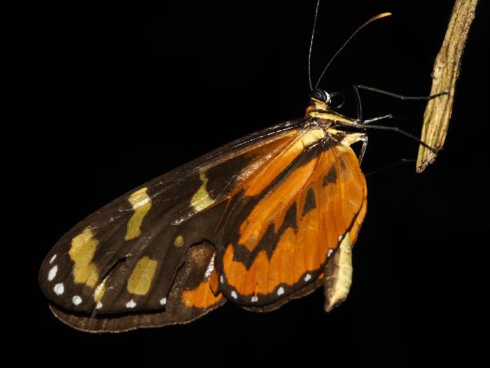 Polymnia Tigerwing - Mechanitis polymnia