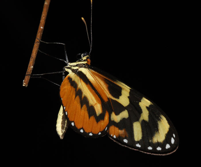 Disturber Tigerwing - Mechanitis polymnia