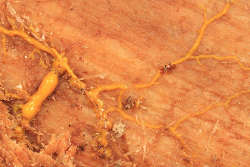Phanerochaete chrysorhiza (rhizomorphs)