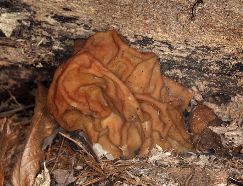 Gyromitra esculenta (False Morel)